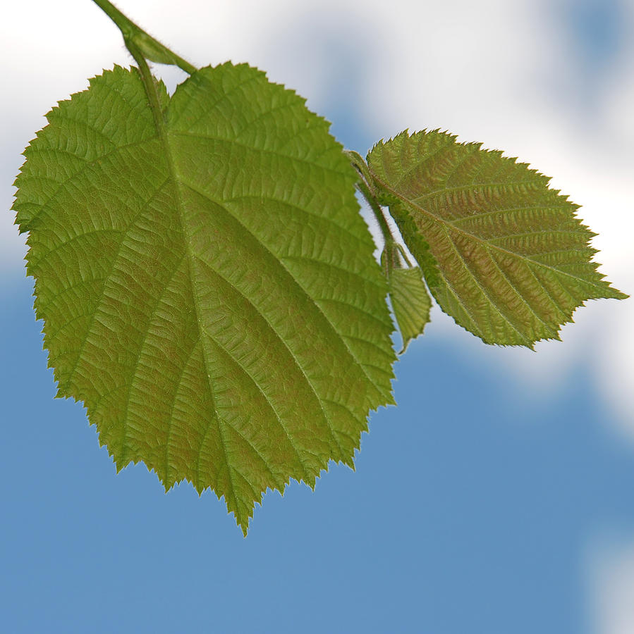 Background Photograph - Leaf by Design Windmill