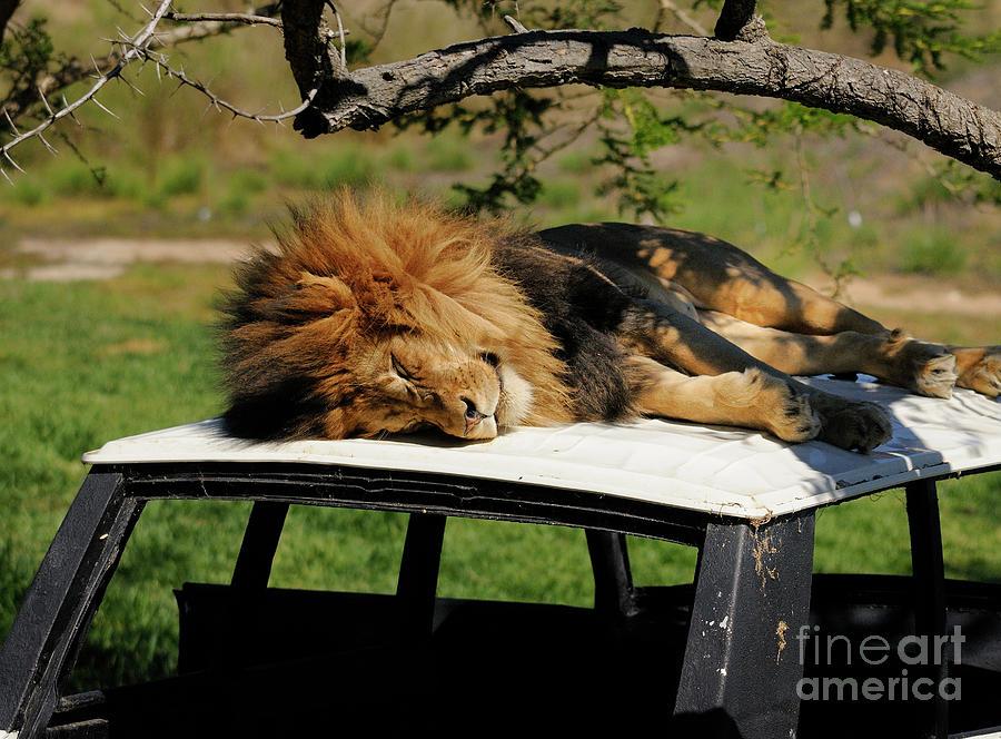 Lion Photograph - Lion by Marc Bittan