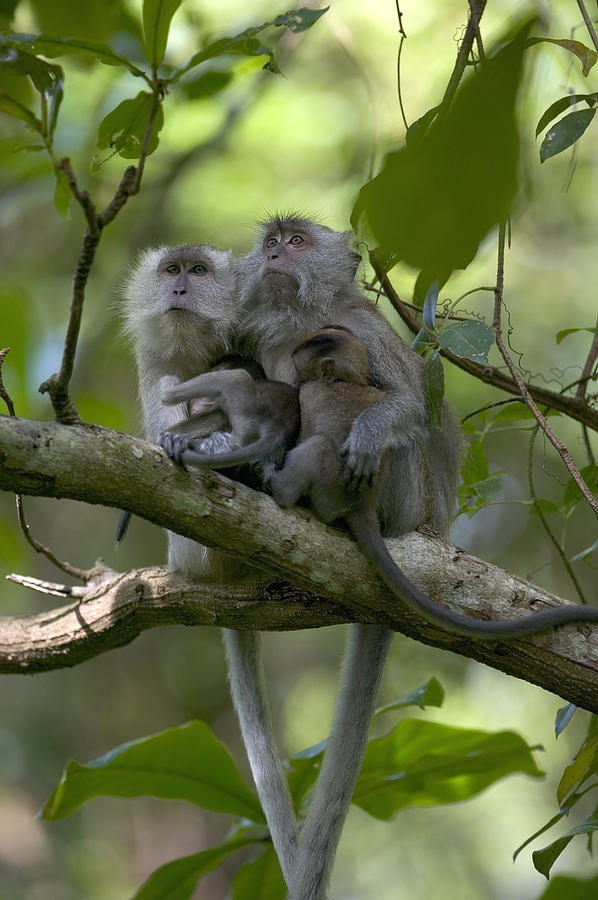 Long-tailed Macaque Macaca Fascicularis Photograph by Cyril Ruoso