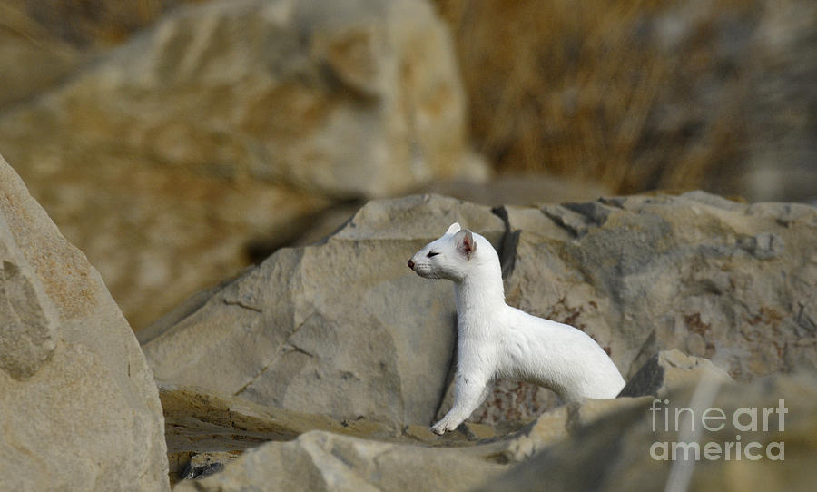 Wildlife Photograph - Long Tailed Weasel by Dennis Hammer