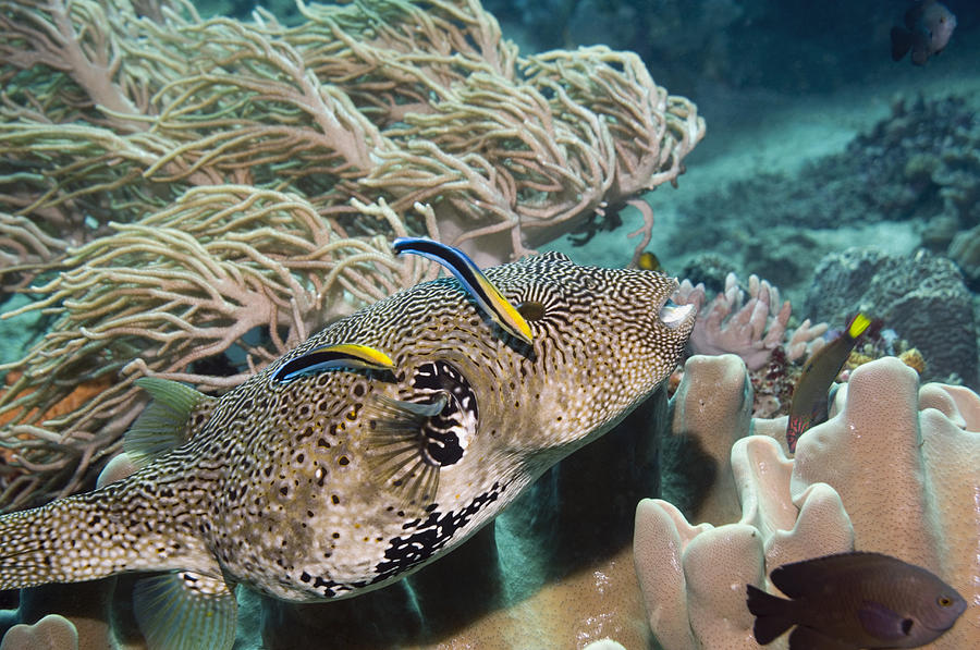 Cleaner Wrasse Photograph - Map Pufferfish by Georgette Douwma