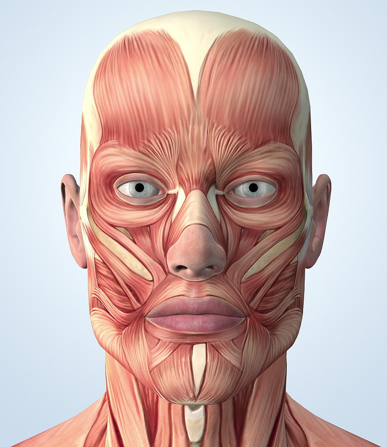 muscular system of the head photograph by roger harris