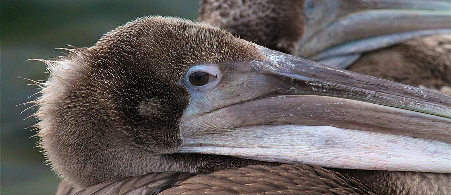 Wildlife Photographs Photograph - Pelican by Paul Marto