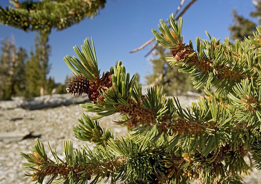 Great Basin Bristlecone Pine Photograph - Pinus Longaeva by Bob Gibbons