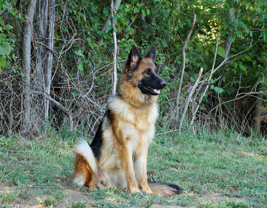 German Shepherd Photograph - Queena by Sandy Keeton