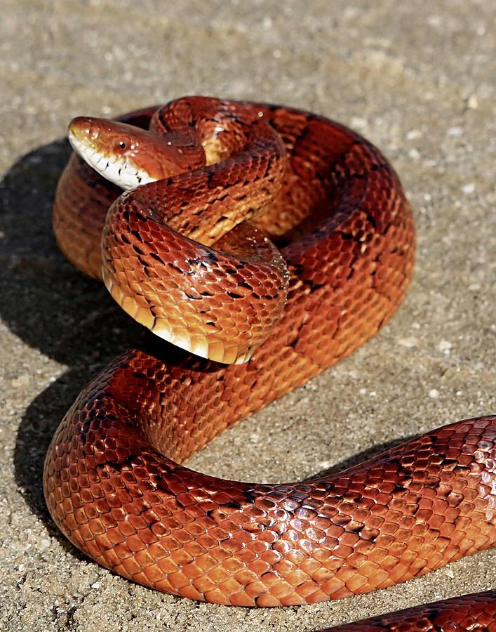 Red Rat Snake Photograph By Ira Runyan