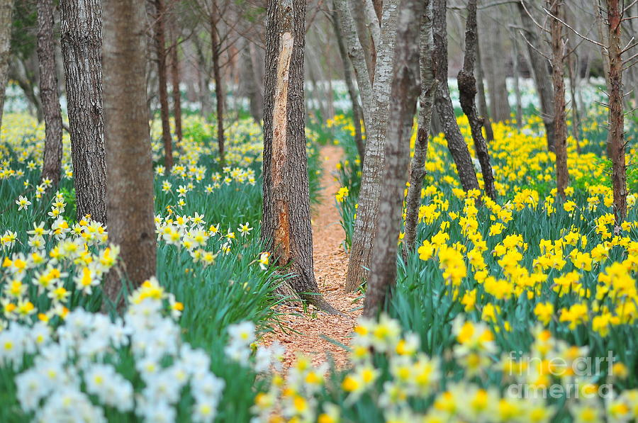 Daffodil Photograph - Secret Places by Catherine Reusch Daley