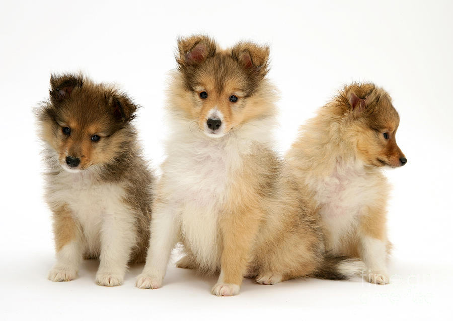 Sheltie Puppies Photograph by Jane Burton