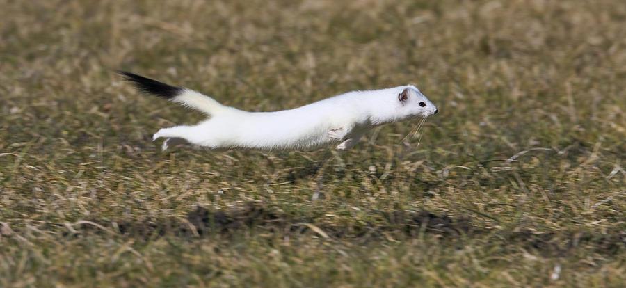 Short Tailed Weasel Mustela Erminea Photograph Konrad Wothe