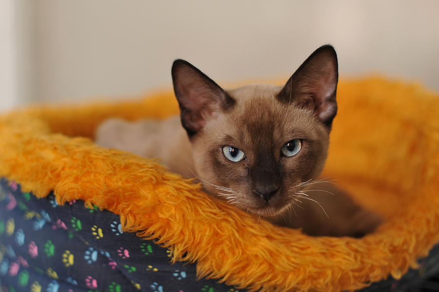 Cat Photograph - Siamese Cat by Waldek Dabrowski
