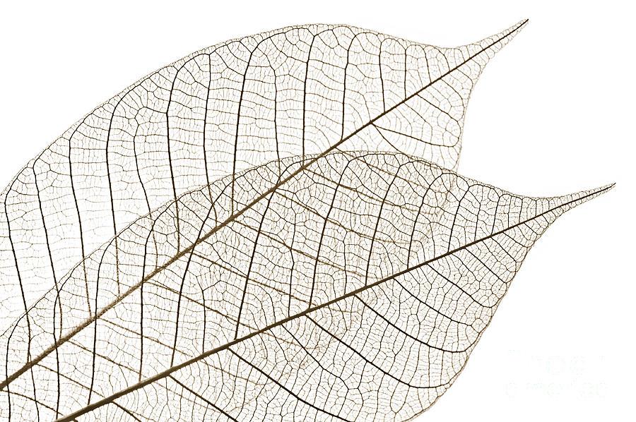 Skeleton Photograph - Skeleton Leaves by Elena Elisseeva