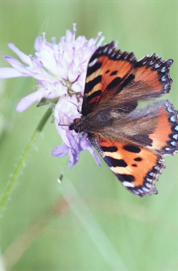 Butterfly Photograph - Small Tortoiseshell by Patrick Kessler