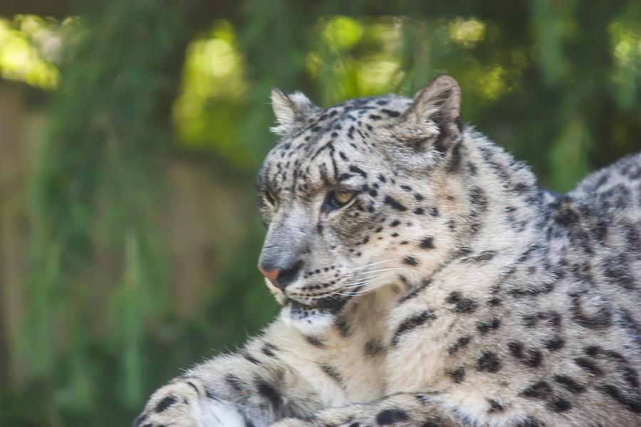 Animal Photograph - Snow Leopard by Dawn OConnor