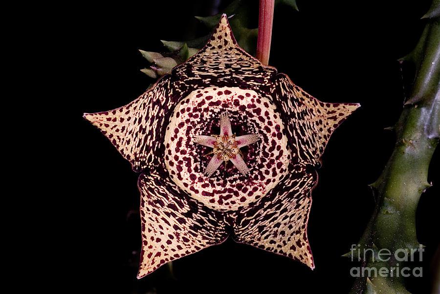 Stapelia Variegata Photograph - Stapelia Flower by Dant� Fenolio