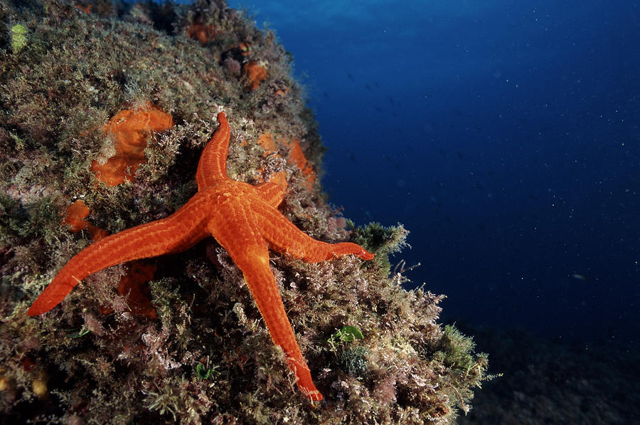 Zoology Photograph - Starfish by Alexis Rosenfeld