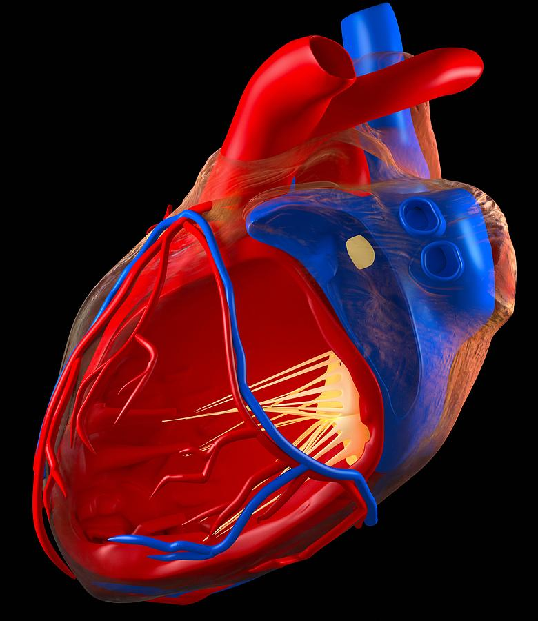 Human Photograph - Structure Of A Human Heart, Artwork by Roger Harris