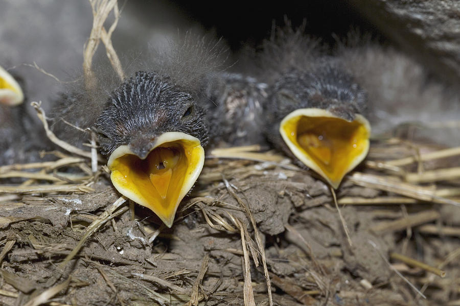 Swallow Photograph - Swallow Chicks by Georgette Douwma
