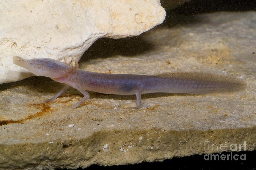 Fauna Photograph - Texas Blind Salamander by Dante Fenolio