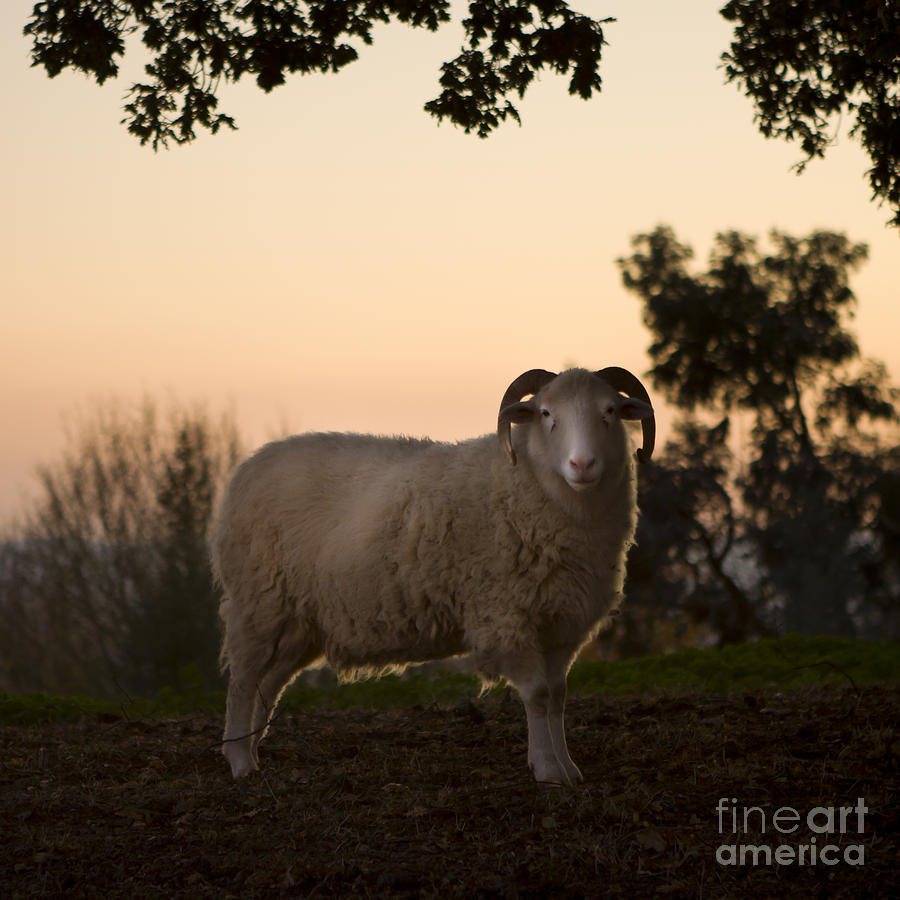 Sheep Photograph - The Lamb by Angel Ciesniarska