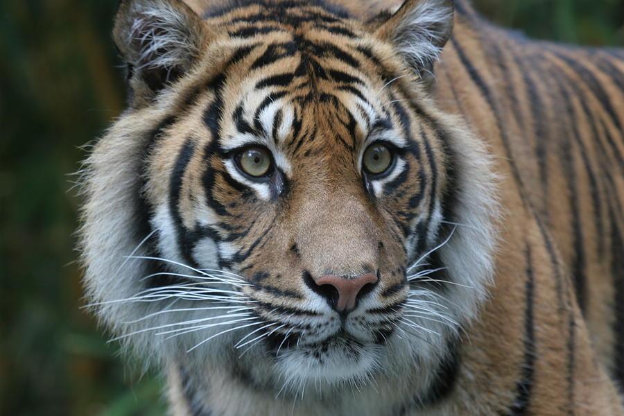 Tiger Stare Photograph