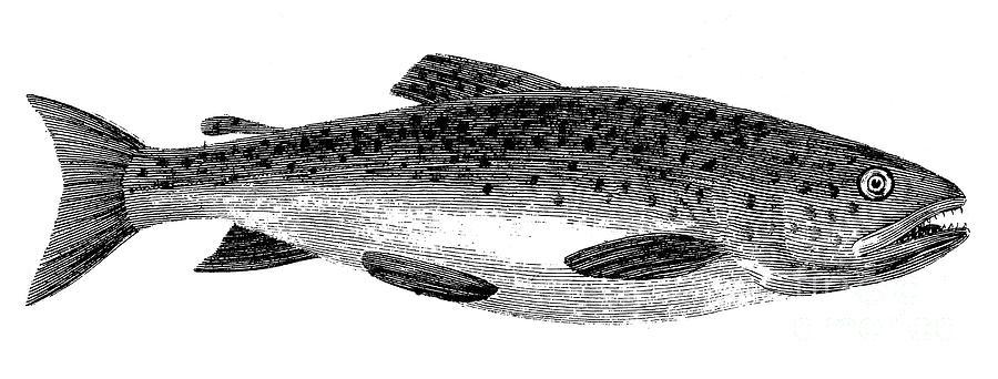 Aquatic Photograph - Trout by Granger