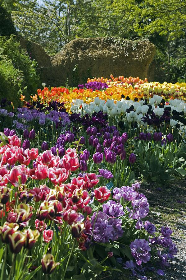Panoramic Photograph - Tulip (tulipa Sp.) Borders by Dr Keith Wheeler