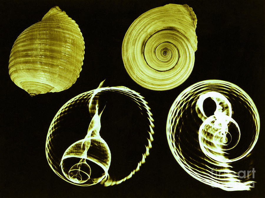 Sea Shell Photograph - Tun Shell X-ray by Photo Researchers