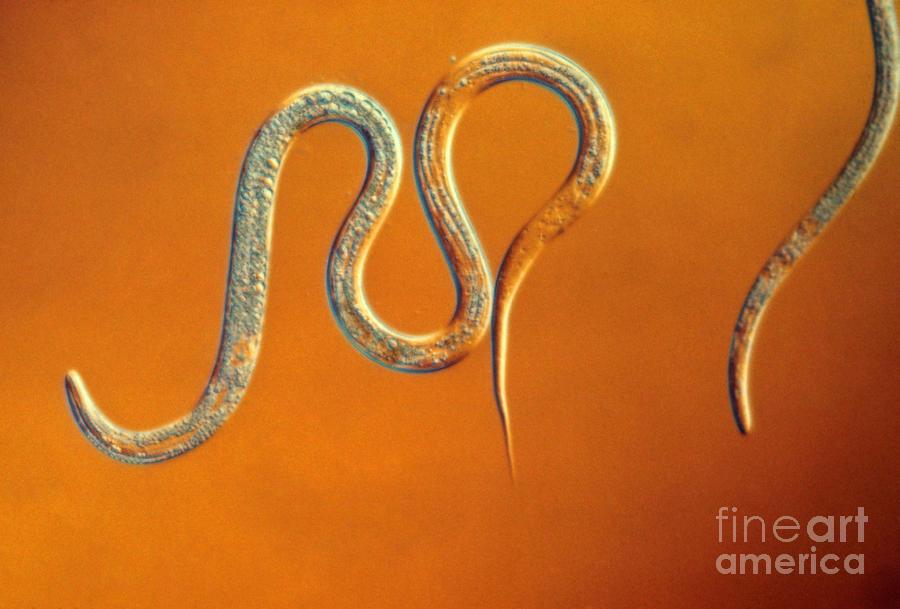 Nematode Photograph - Vinegar Eel by Eric V. Grave