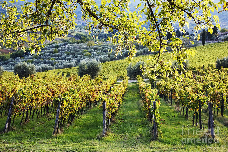 Agriculture Photograph - Vineyards And Olive Groves by Jeremy Woodhouse