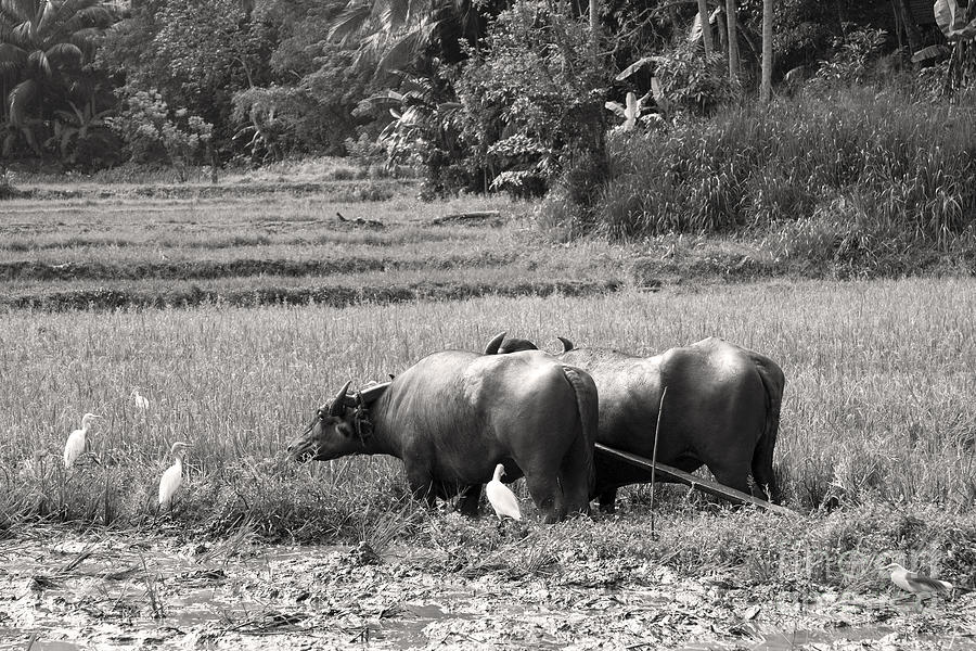 Agriculture Photograph - Water Buffalo by Jane Rix