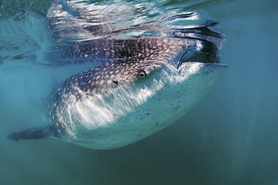 Rhincodon Typus Photograph - Whale Shark by Clay Coleman