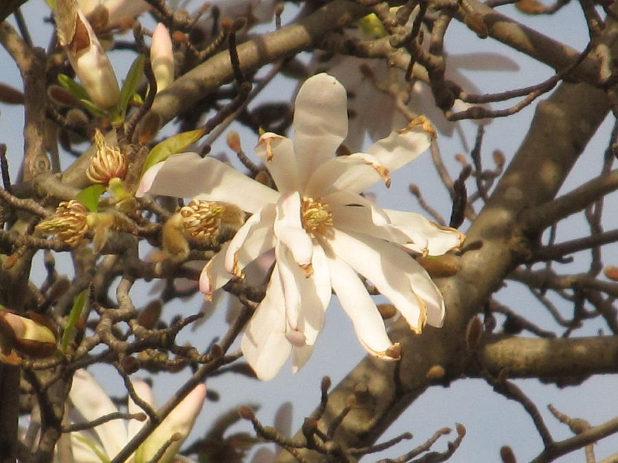 Flower Photograph - White Magnolias by Alfred Ng