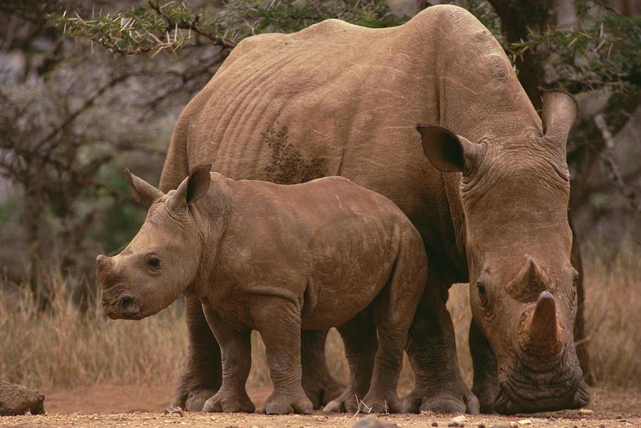 White Rhinoceros Ceratotherium Simum Photograph by Gerry Ellis