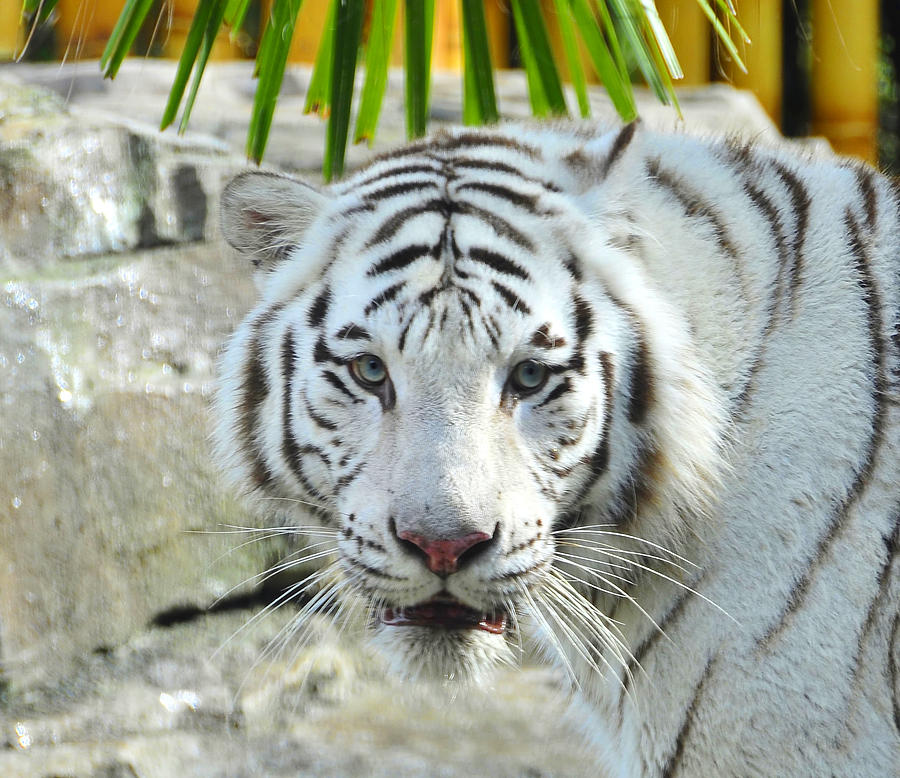 Wildlife Photography Photograph - White Tiger by David Lee Thompson