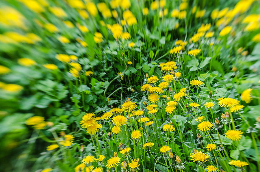 Landscape Photograph - Yellow dandelions by Michael Goyberg