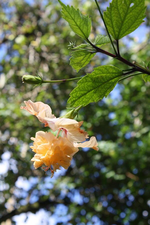 Flower Photograph - Yellow Hibiscus by Natalija Wortman