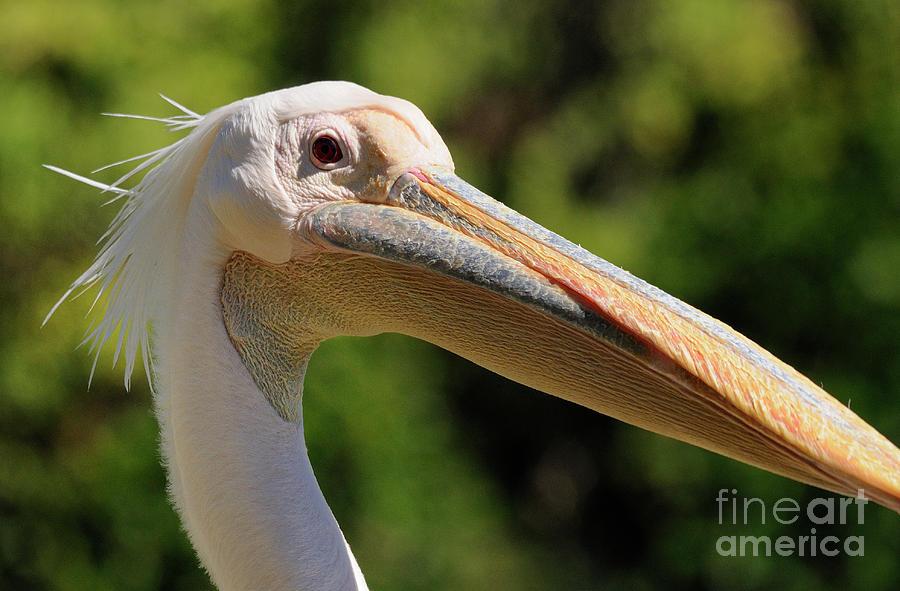 Pelican Photograph - Pelican by Marc Bittan