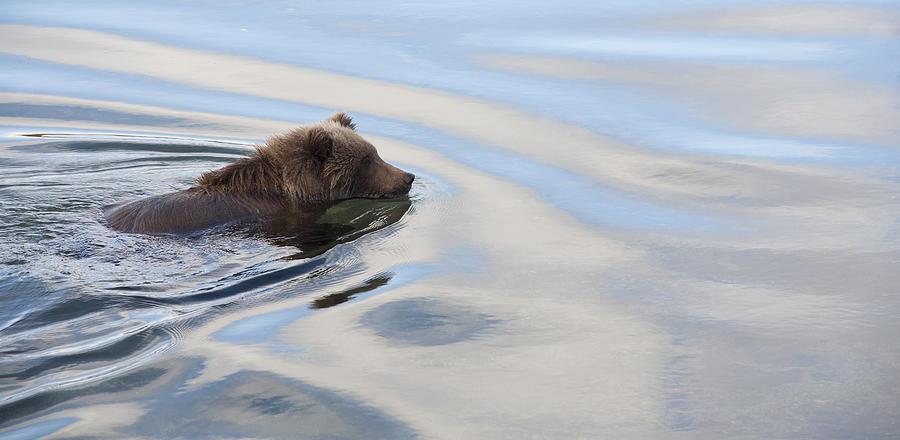 Grizzly Bear Ursus Arctos Horribilis Photograph by Matthias Breiter