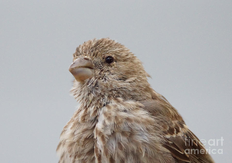 Birds Photograph - House Finch by Lori Tordsen