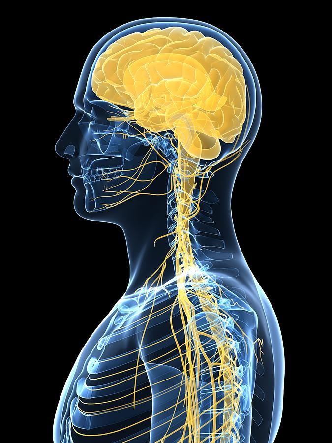Human Nervous System Artwork Photograph By Sciepro