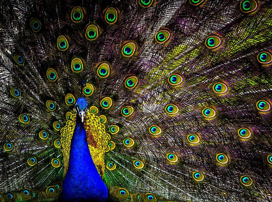 Peacock Photograph by Brian Stevens