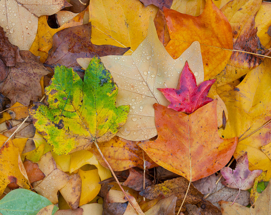 Leave Photograph - Autumn Leaves by Hans Engbers