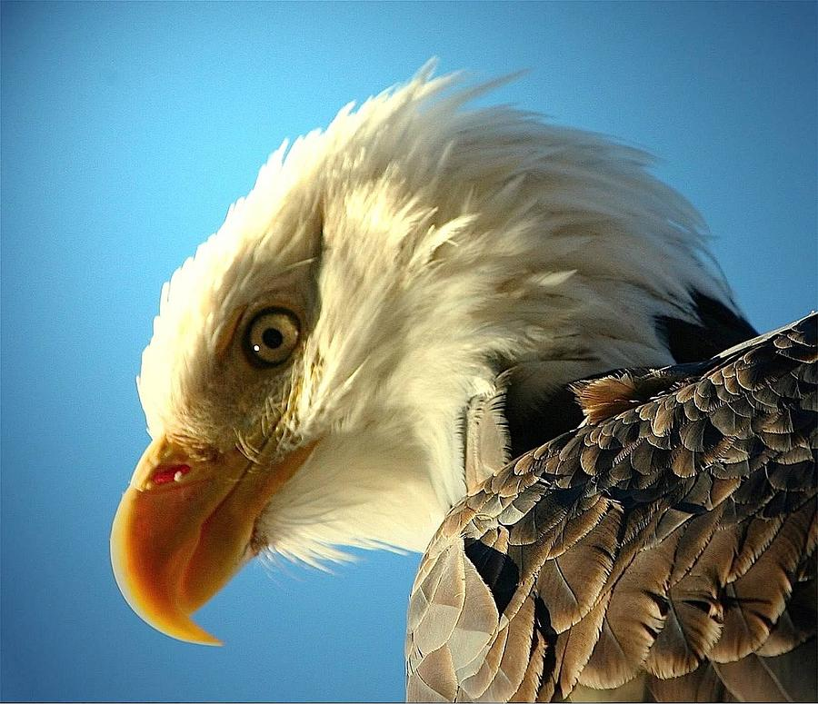 Bald Eagle Digital Art - Bald Is Beautiful by Carrie OBrien Sibley
