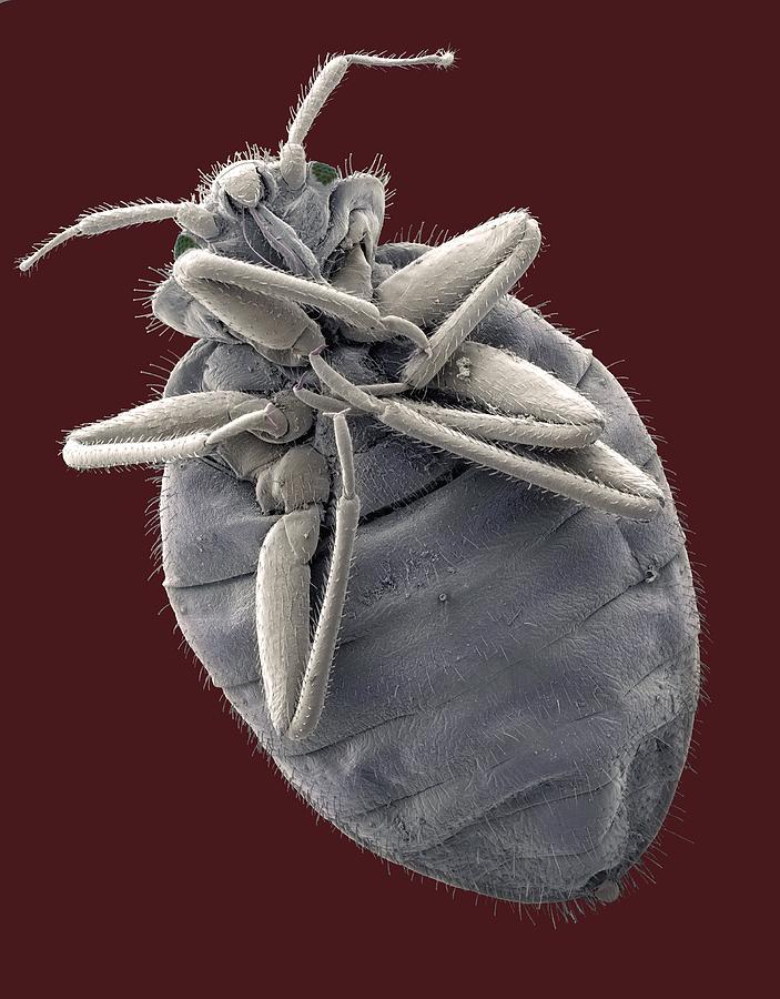 Bedbug Photograph - Bedbug, Sem by Steve Gschmeissner
