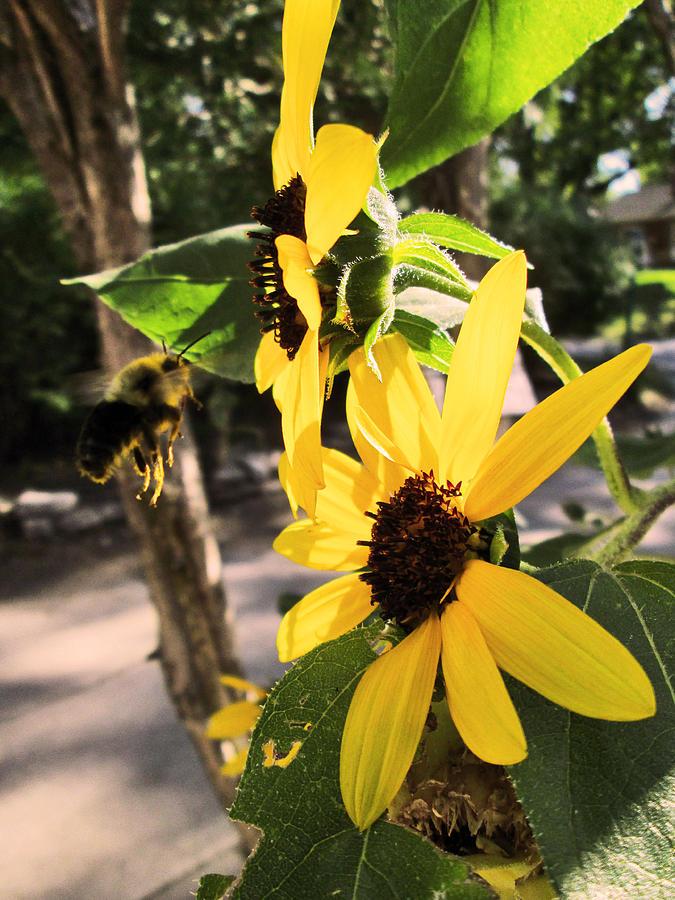 Bee Pyrography - Bee And Sunflower  by Jon Baldwin  Art