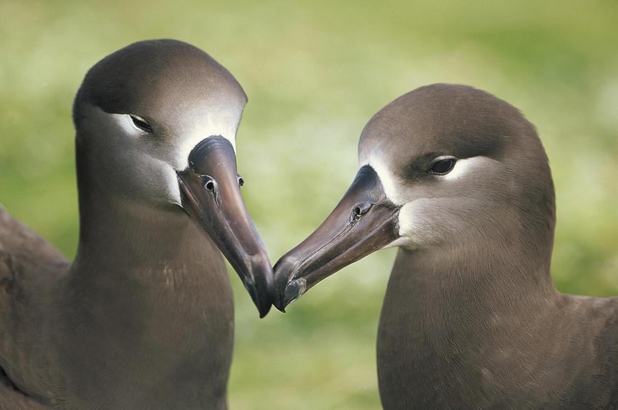 Black-footed Albatross Phoebastria Photograph by Tui De Roy