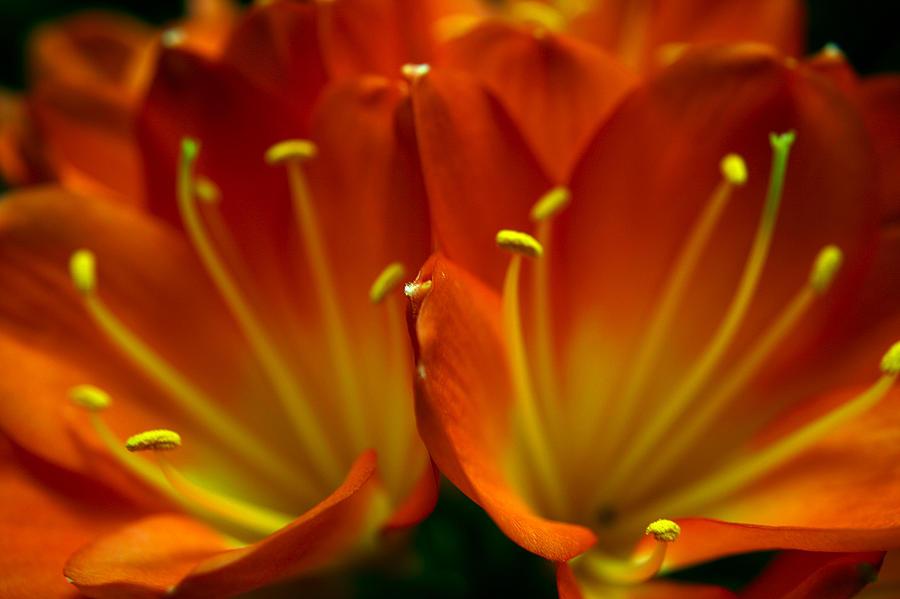 Clivia Miniata Photograph - Clivia Bloom by PIXELS  XPOSED Ralph A Ledergerber Photography
