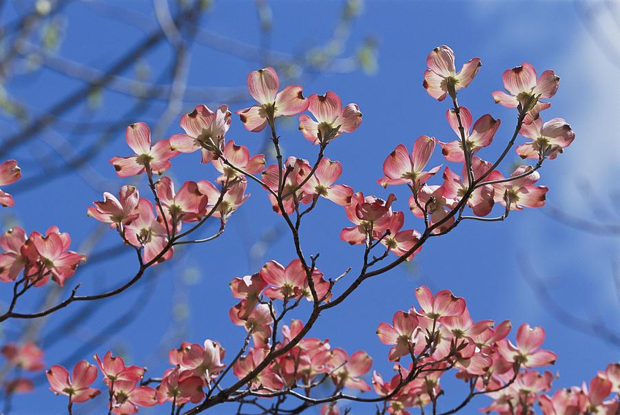 Plants Photograph - Close View Of Pink Dogwood Blossoms by Darlyne A. Murawski