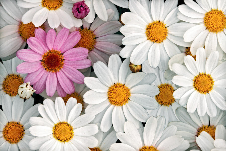 Floral Photograph - Daisy Maze by Donna Pagakis