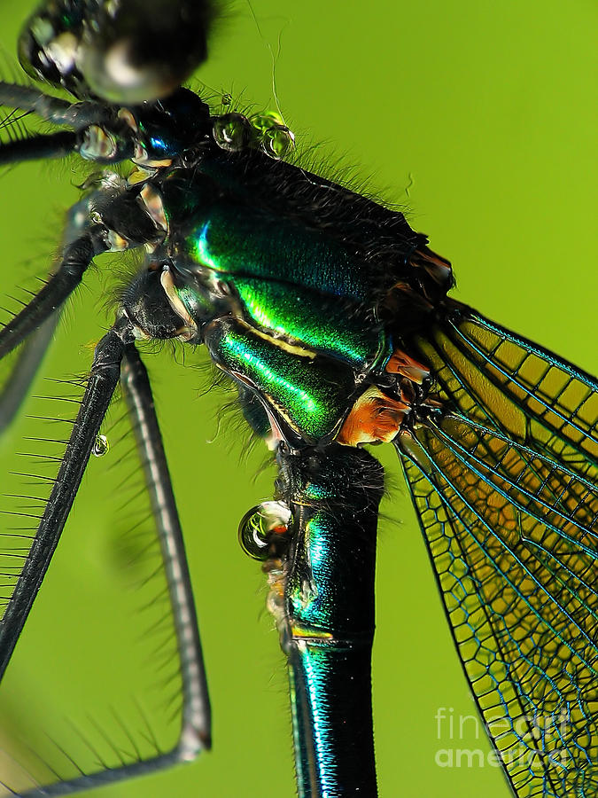 Nature Photograph - Dragonfly In Drops by Odon Czintos